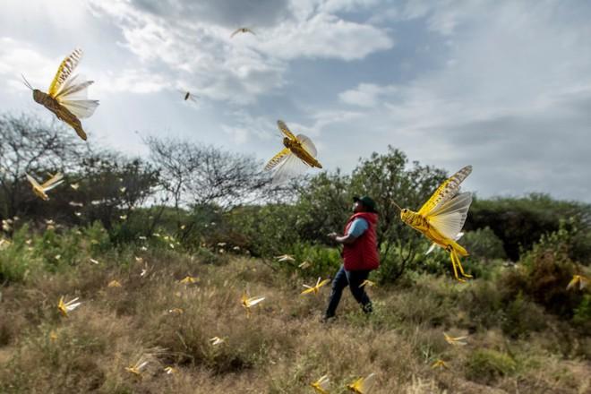 Nạn châu chấu khủng khiếp ở châu Phi: đàn châu chấu lớn cả kilomet vuông, nhiều tới cả trăm triệu con - Ảnh 1.