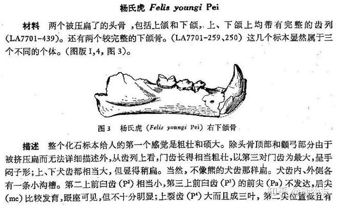 Yangs Tiger: Sư tử bản địa của Trung Quốc, nhưng lại được gọi là hổ - Ảnh 3.