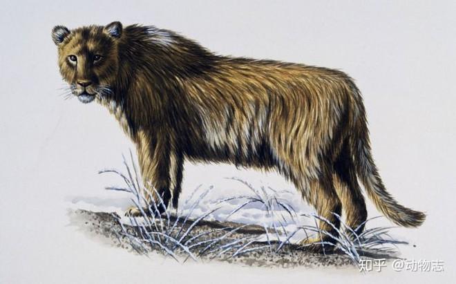Yangs Tiger: Sư tử bản địa của Trung Quốc, nhưng lại được gọi là hổ - Ảnh 2.