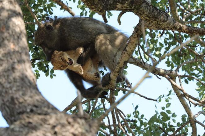 The Lion King đời thực là đây: Chú khỉ đầu chó vừa leo trèo vừa bế sư tử con, quyết không buông tay - Ảnh 3.