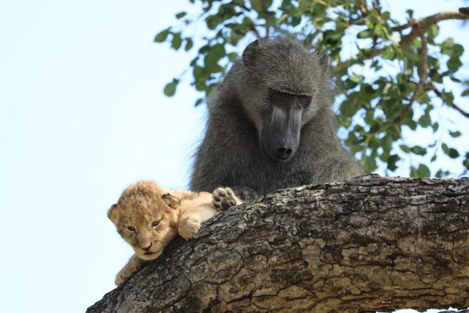 The Lion King đời thực là đây: Chú khỉ đầu chó vừa leo trèo vừa bế sư tử con, quyết không buông tay - Ảnh 4.