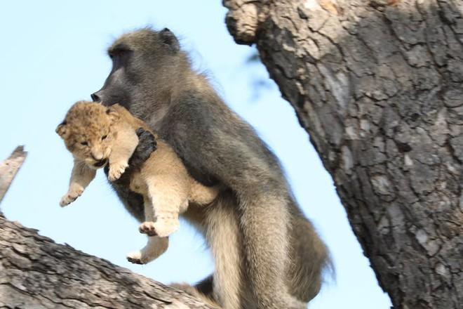 The Lion King đời thực là đây: Chú khỉ đầu chó vừa leo trèo vừa bế sư tử con, quyết không buông tay - Ảnh 2.