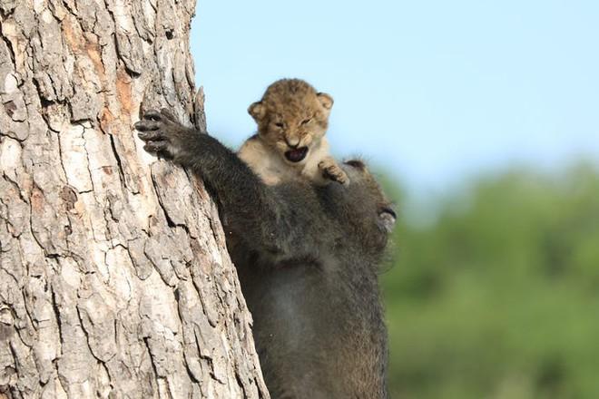 The Lion King đời thực là đây: Chú khỉ đầu chó vừa leo trèo vừa bế sư tử con, quyết không buông tay - Ảnh 5.