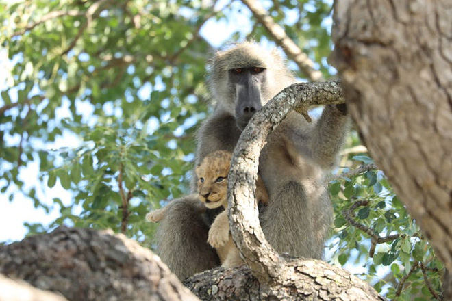 The Lion King đời thực là đây: Chú khỉ đầu chó vừa leo trèo vừa bế sư tử con, quyết không buông tay - Ảnh 6.