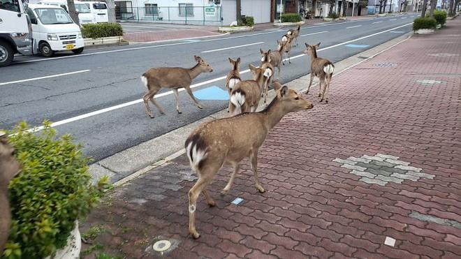 Con người cách ly trong nhà trốn dịch, động vật hoang dã bỗng chiếm dụng đường phố - Ảnh 1.