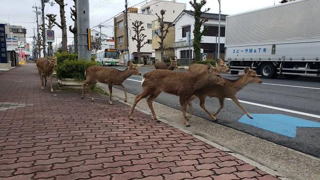 Con người cách ly trong nhà trốn dịch, động vật hoang dã bỗng chiếm dụng đường phố - Ảnh 2.