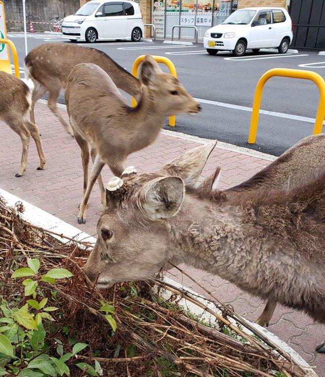 Con người cách ly trong nhà trốn dịch, động vật hoang dã bỗng chiếm dụng đường phố - Ảnh 4.