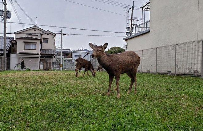 Con người cách ly trong nhà trốn dịch, động vật hoang dã bỗng chiếm dụng đường phố - Ảnh 6.