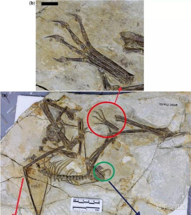Luôn treo mình lộn ngược trên cây như loài dơi, đây nhất định là loài thằn lằn bay cổ đại kỳ lạ nhất từng tồn tại ở Trung Quốc - Ảnh 6.