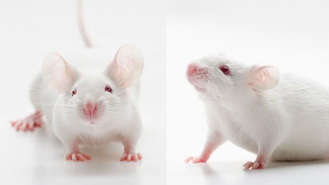AI tiết lộ mặt chuột cũng biểu đạt được hàng loạt cảm xúc – giống như con người vậy - Ảnh 1.