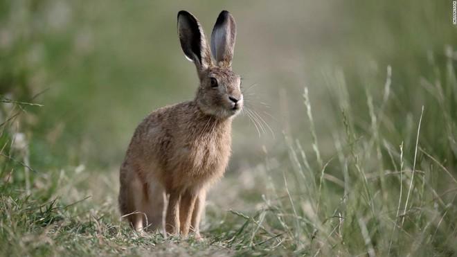 Xuất hiện từ gần 2000 năm trước tại Anh, thỏ rừng và gà được coi là những loài vật thiêng liêng có liên quan đến các vị thần, chứ không phải 1 nguồn thực phẩm phổ biến như hiện nay.