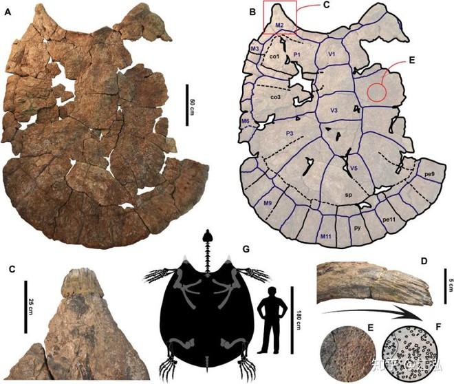 Phát hiện loài rùa cổ đại lớn nhất từng tồn tại trên Trái Đất - Ảnh 6.