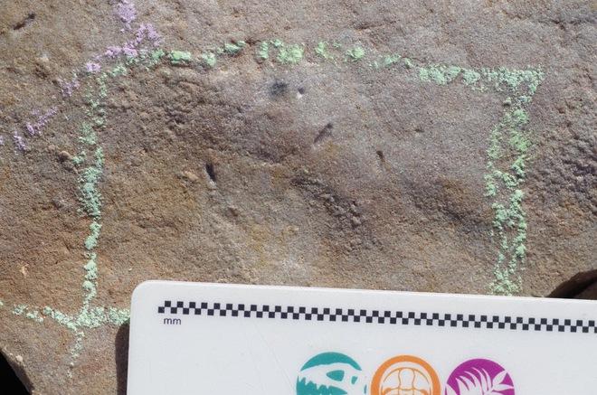 Các nhà khoa học tìm ra hóa thạch 555 triệu năm tuổi của tổ tiên con người - Ảnh 2.