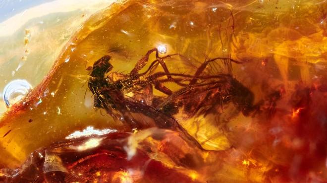 Hai cá thể ruồi đang quan hệ thì bị dính nhựa thông, mắc kẹt trong tư thế nhạy cảm suốt 41 triệu năm - Ảnh 2.