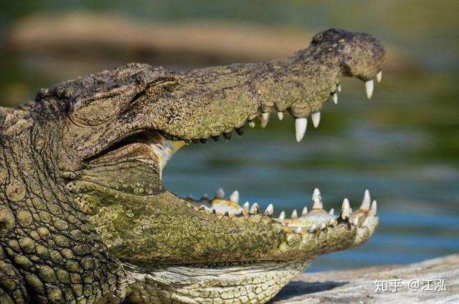 Cá sấu tiền sử dưới đại dương chỉ cần một cú đớp cũng có thể làm thủng bụng ngư long - Ảnh 5.
