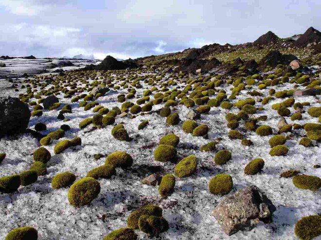 Chuột sông băng: những cục rêu dẻo như bánh nếp biết tự di chuyển làm đau đầu giới khoa học - Ảnh 2.