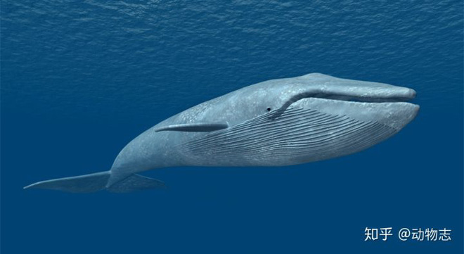 Tại sao cá voi vung đuôi lên xuống, nhưng cá mập lại vung đuôi sang hai bên? - Ảnh 8.