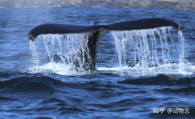 Tại sao cá voi vung đuôi lên xuống, nhưng cá mập lại vung đuôi sang hai bên? - Ảnh 2.