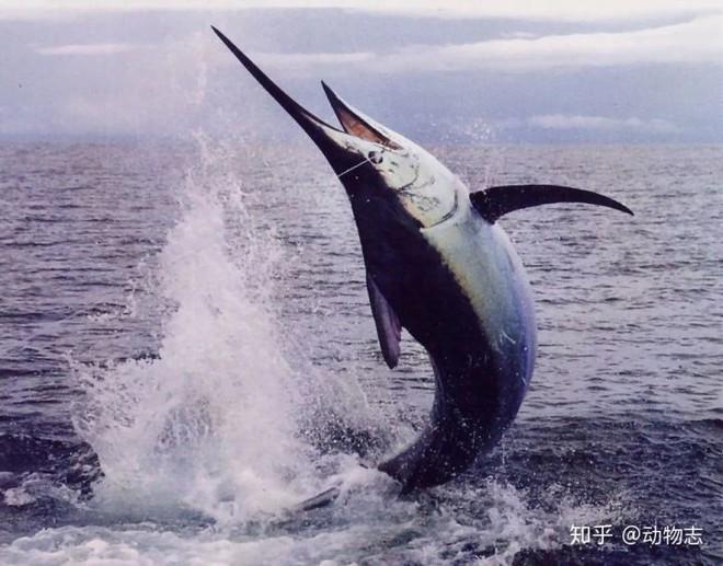Tại sao cá voi vung đuôi lên xuống, nhưng cá mập lại vung đuôi sang hai bên? - Ảnh 7.