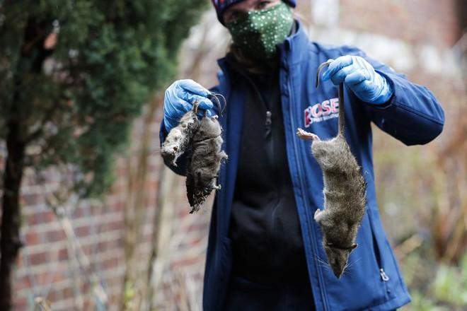 Chuột thành thị ở Mỹ đang phải ăn thịt đồng loại vì các nhà hàng đóng cửa giữa đại dịch COVID-19 - Ảnh 2.
