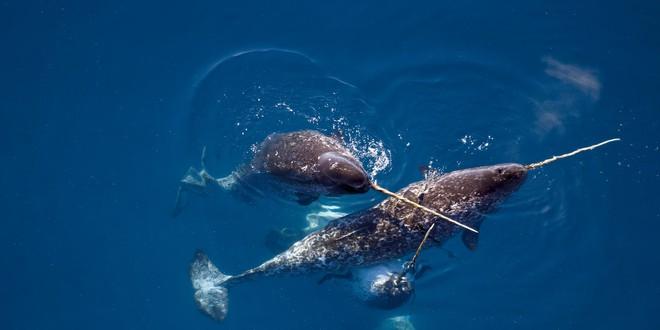 Mời bạn nghe những âm thanh hiếm có do loài kỳ lân biển tạo ra - Ảnh 1.
