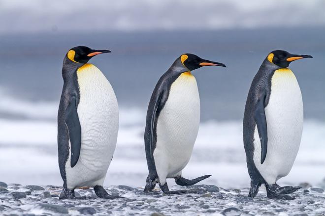 Nghiên cứu mới: Phân chim cánh cụt tạo ra khí gây cười, hít thở không khí trong khu vực thôi cũng đủ quặn ruột - Ảnh 1.