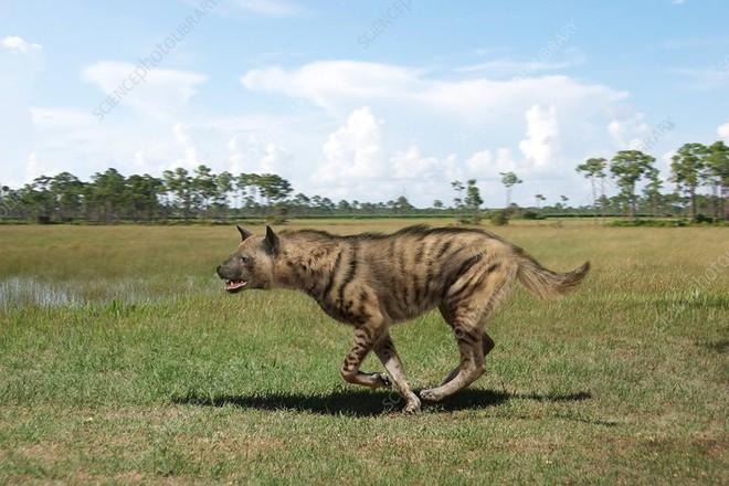 Khám phá bí ẩn của loài linh cẩu thời tiền sử, chúng đã từng sinh sống cả ở Bắc Cực - Ảnh 7.