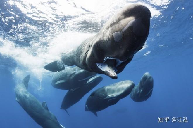 Cá nhà táng ngày nay có khả năng lặn rất mạnh mẽ bởi máu của chúng có mật độ hồng cầu rất cao.