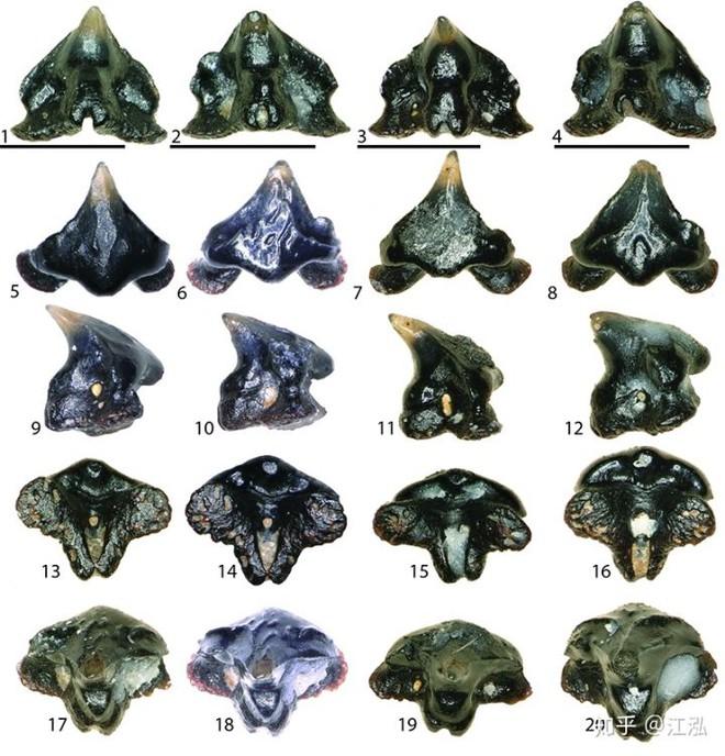 Vô tình phát hiện ra loài cá mập mới trong khi phân loại hóa thạch Tyrannosaurus rex - Ảnh 14.