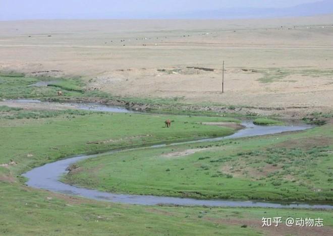 Tại sao không có hổ trên thảo nguyên Mông Cổ? - Ảnh 5.