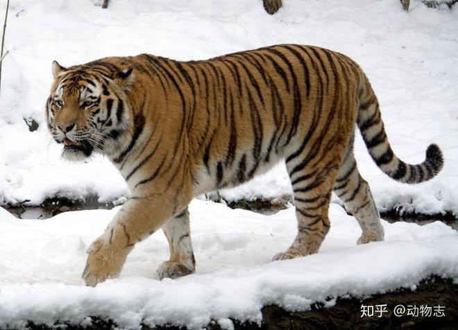 Tại sao không có hổ trên thảo nguyên Mông Cổ? - Ảnh 1.