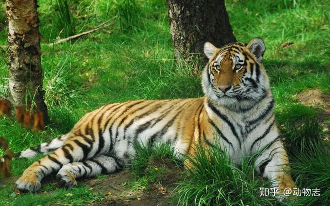 Tại sao không có hổ trên thảo nguyên Mông Cổ? - Ảnh 4.