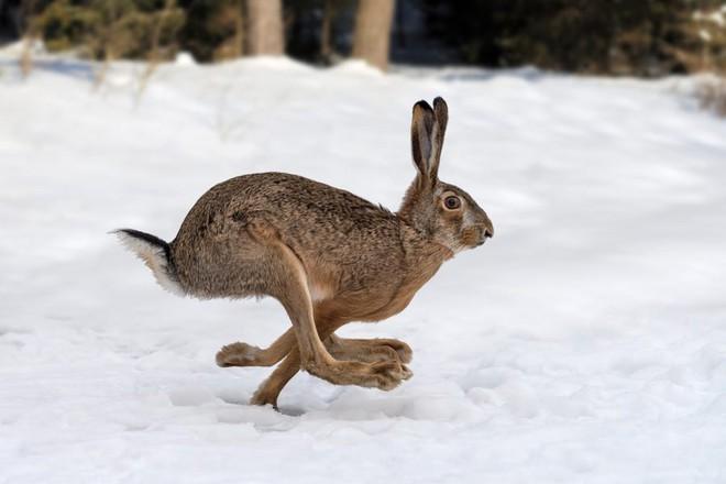 Virus được mệnh danh là bunny Ebola lây lan mạnh, giết chết hàng ngàn con thỏ ở Mỹ - Ảnh 1.