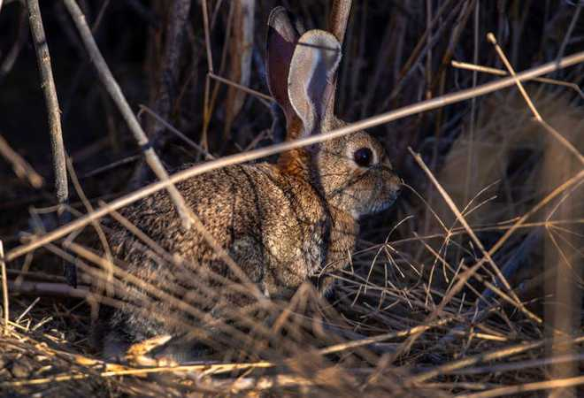 Virus được mệnh danh là bunny Ebola lây lan mạnh, giết chết hàng ngàn con thỏ ở Mỹ - Ảnh 3.
