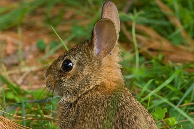 Virus được mệnh danh là bunny Ebola lây lan mạnh, giết chết hàng ngàn con thỏ ở Mỹ - Ảnh 4.