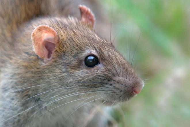 Chuột mù khôi phục được thị giác nhờ tiêm công nghệ nano - Ảnh 1.