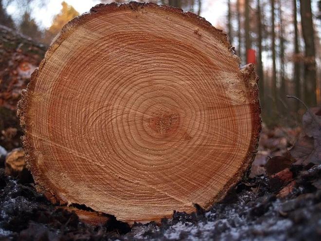 Hàng trăm năm lịch sử gói lại trong vân gỗ cảnh báo nguy cơ xảy đến với hệ thống nông nghiệp Nam Mỹ - Ảnh 3.