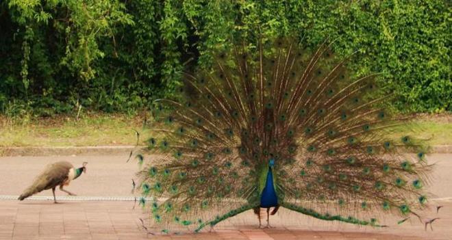 Để giữ lại vẻ đẹp, nhiều loài động vật dường như đang đi vào ngõ cụt của sự tiến hóa? - Ảnh 4.
