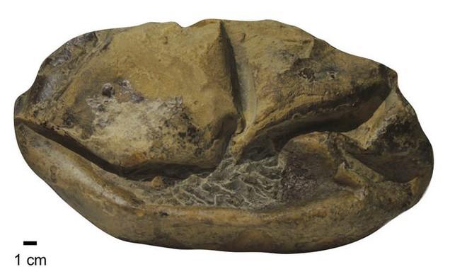 Phát hiện trứng hóa thạch lớn nhất trong thời đại khủng long, nó có thể đến từ một loài bò sát cổ đại chuyên ăn thịt cá mập - Ảnh 2.