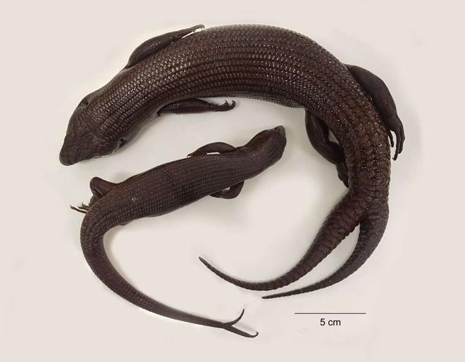 Hóa ra thằn lằn không chỉ mọc lại đuôi sau bị mất, đôi khi chúng mất một nhưng được hai, ba đuôi khác - Ảnh 3.