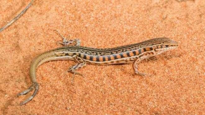 Hóa ra thằn lằn không chỉ mọc lại đuôi sau bị mất, đôi khi chúng mất một nhưng được hai, ba đuôi khác - Ảnh 1.