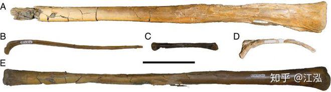 Canada phát hiện ra loài khủng long bay mới, có kích thước tương đương một chiếc máy bay nhỏ - Ảnh 6.