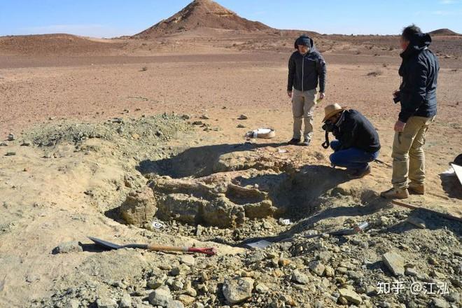 Các nhà cổ sinh vật học đang đào những hóa thạch của Machimosaurus rex.