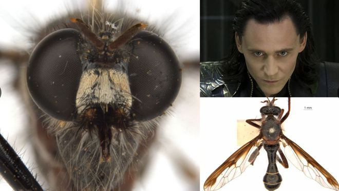 Úc: Giới khoa học đặt tên các loài côn trùng mới theo Stan Lee và nhiều siêu anh hùng của Marvel - Ảnh 4.
