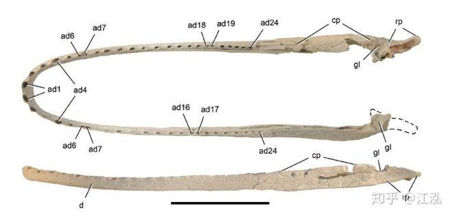 Stomatosuchus inermis: Loài cá sấu cổ đại có thể nuốt chửng cả thế giới - Ảnh 4.
