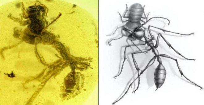 """Hóa thạch loài kiến địa ngục vừa được phát hiện tiết lộ cơ chế kẹp con mồi """"cực dị"""" so với loài kiến ngày nay - Ảnh 2."""
