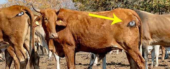 Lạ mà thật: Các nhà khoa học vẽ mắt lên mông bò để bảo vệ chúng khỏi bị sư tử tấn công - Ảnh 1.