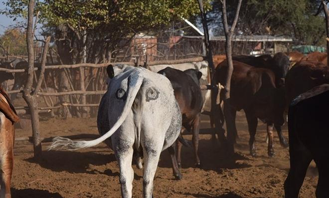 Lạ mà thật: Các nhà khoa học vẽ mắt lên mông bò để bảo vệ chúng khỏi bị sư tử tấn công - Ảnh 2.
