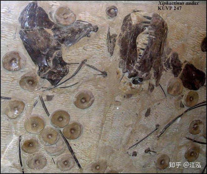 Cretoxyrhina: Loài cá mập thời tiền sử còn đáng sợ hơn cả Megalodon - Ảnh 8.