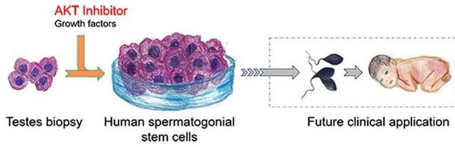 Các nhà khoa học đã có thể nuôi cấy thành công tinh trùng người từ tế bào gốc tinh trùng - Ảnh 2.